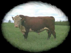 Loberg Polled Herefords